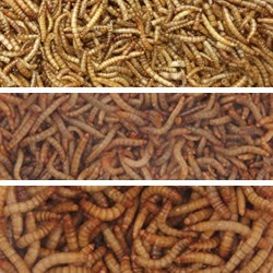 Mealworms & Worms