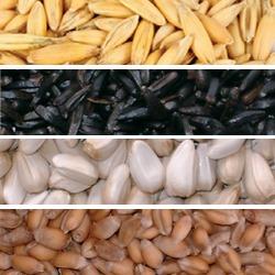 Straight Seeds