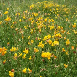 Acid Soil Wildflower Mixture
