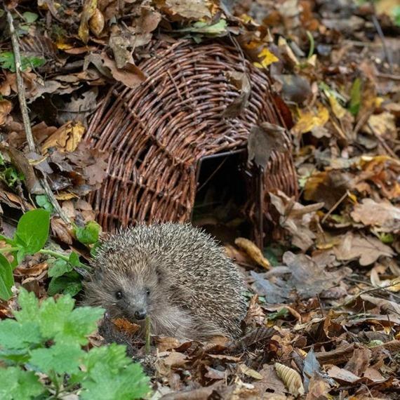 Grand Hedgehog Basket - With A Free Bag Of Nesting Hay