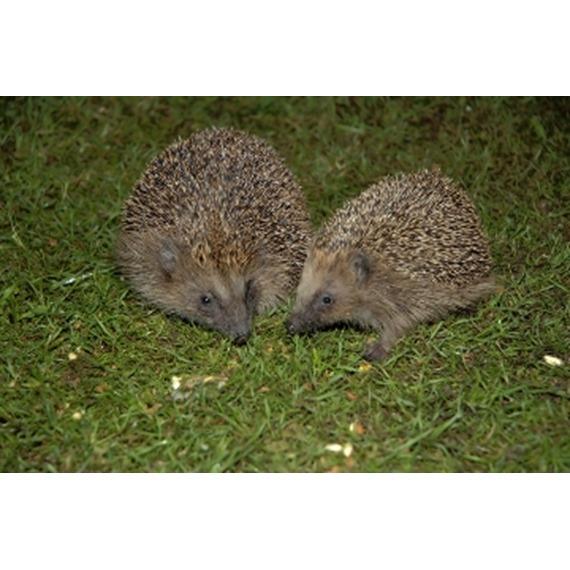 I ❤ Hedgehogs