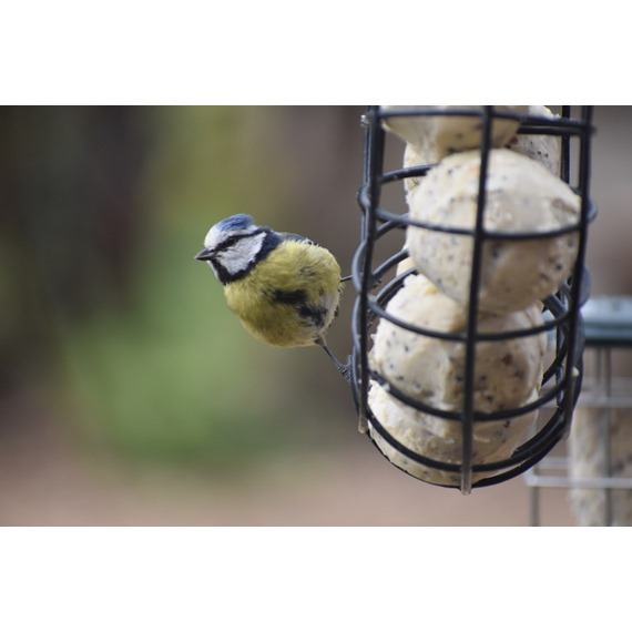 Super Suet Fatballs - With Insect
