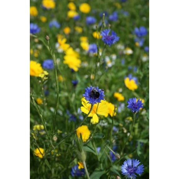 Cornfield Annual Wildflower Seeds