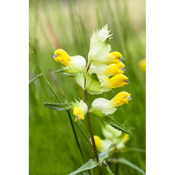 Yellow Rattle Seeds
