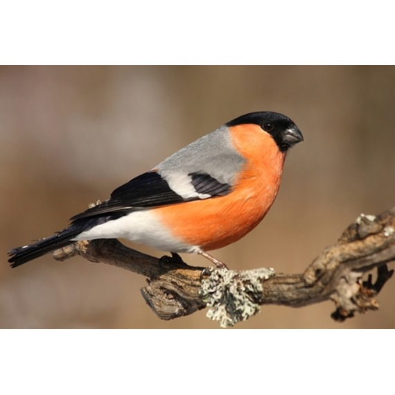 Native Finch Mix