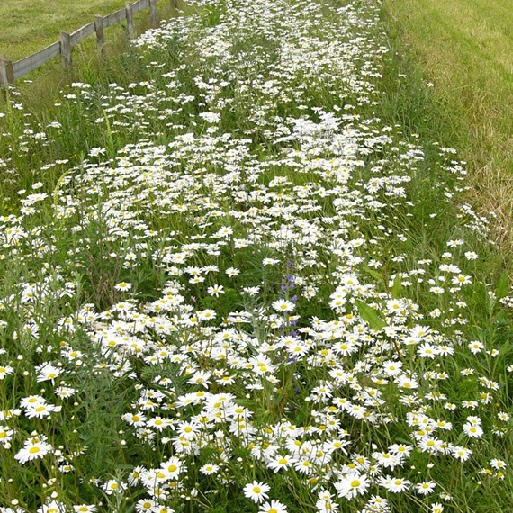 Sandy Soil 100% Wildflower Mixture