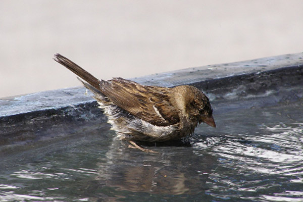 bird bathing in water