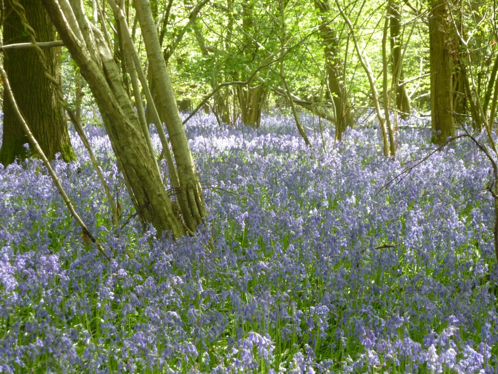 Wood full of bluebells