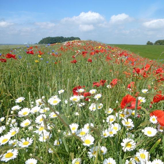 Economy Wildflower Mixture