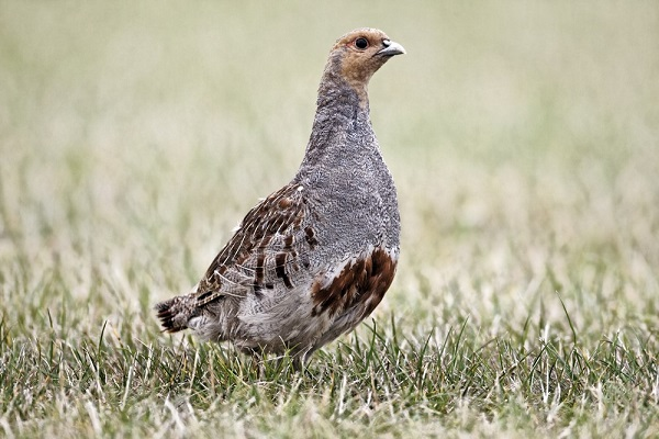 english partridge