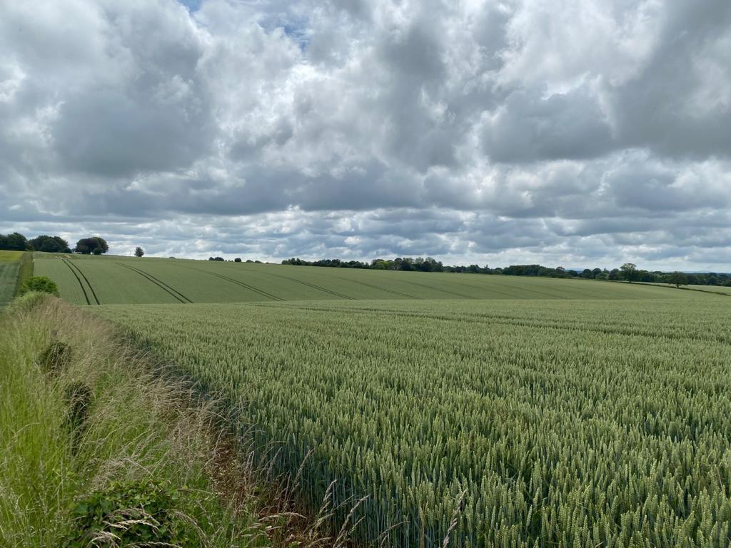wheat under rainy skies