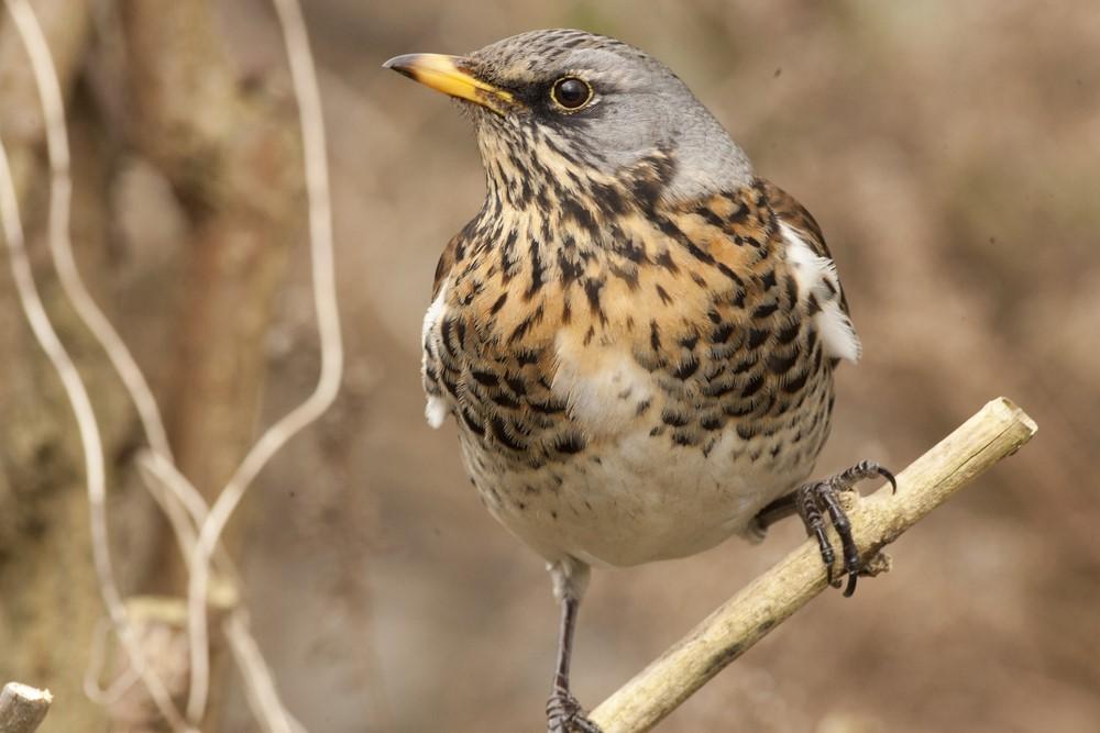 Fieldfare bird photo