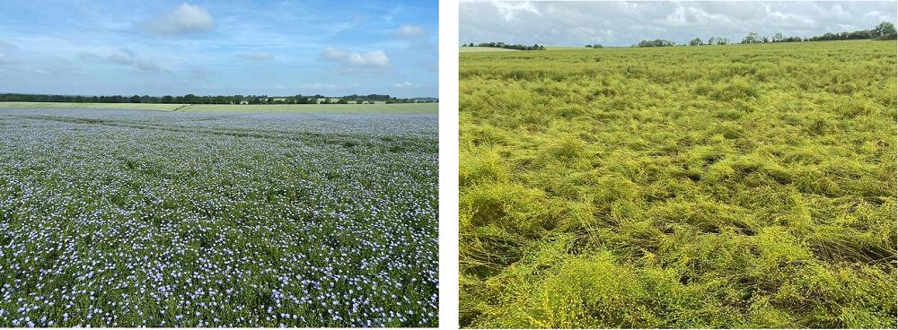 field of blue flowering linseed