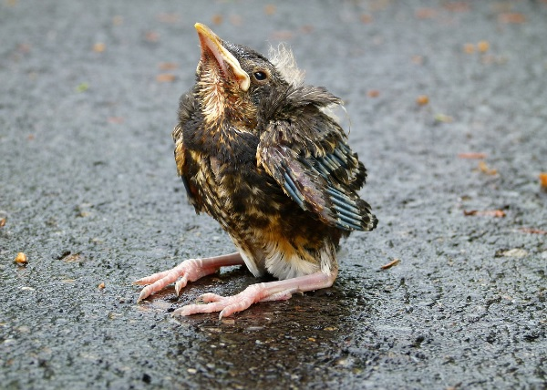 Fledgling bird on the ground
