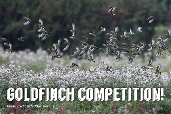 goldfinch competition