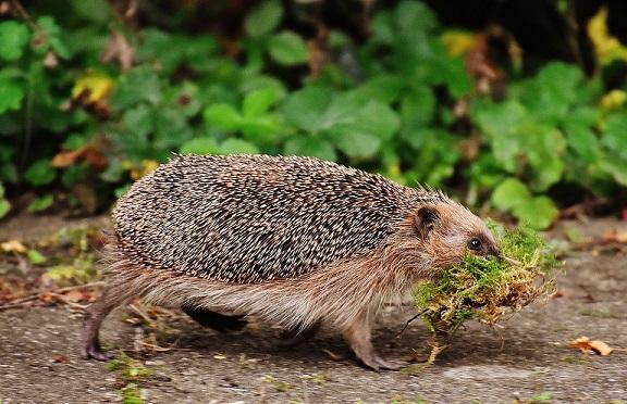 hedgehog habitats