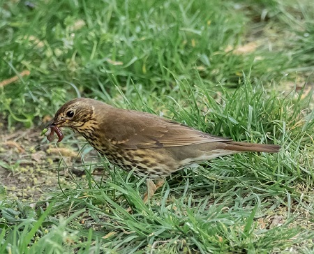 what do song thrushes eat