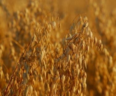 Naked oats