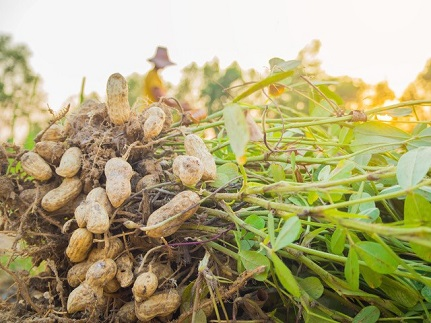 peanuts in the ground