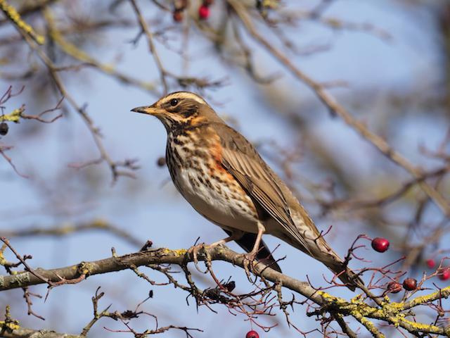 Redwing bird photo