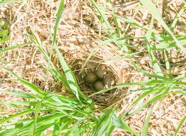 Skylark eggs in nest